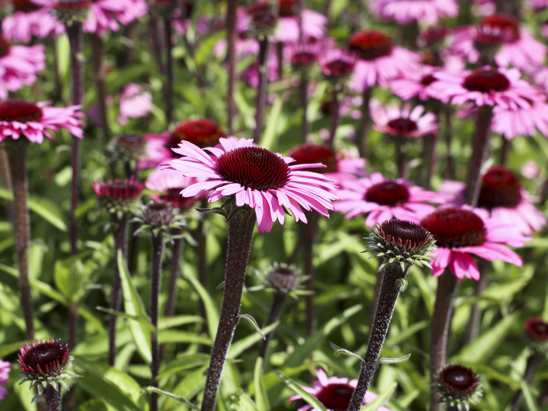 Echinacea Sensation Blackpearl®