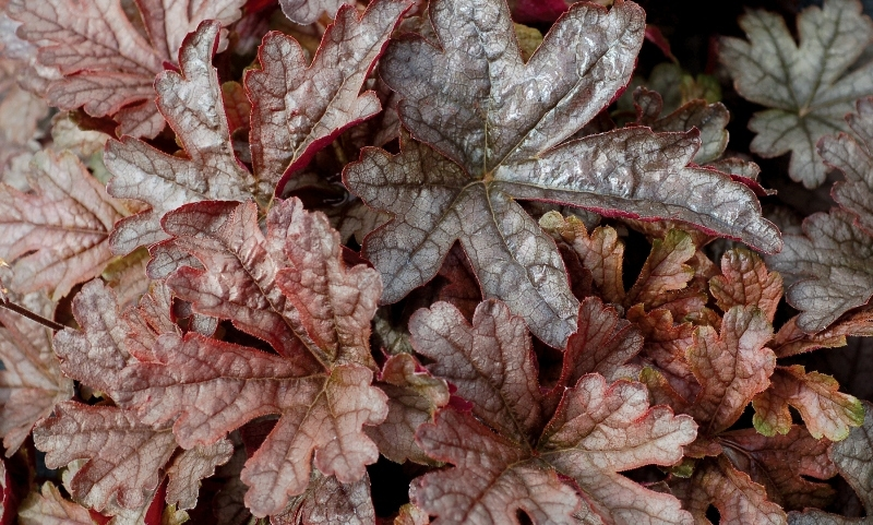 Heucherella Gunsmoke